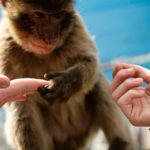 Erasmus student holding hands with a baby monkey in Gibraltar on the Morocco Weekend Trip